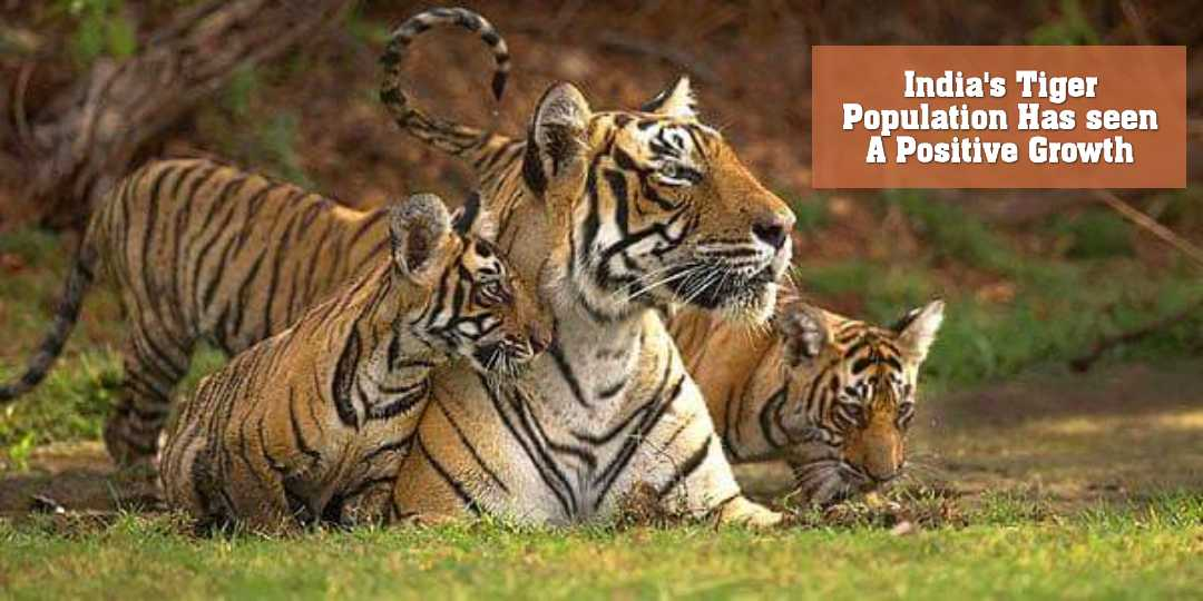 India's Tiger Population Has seen A Positive Growth