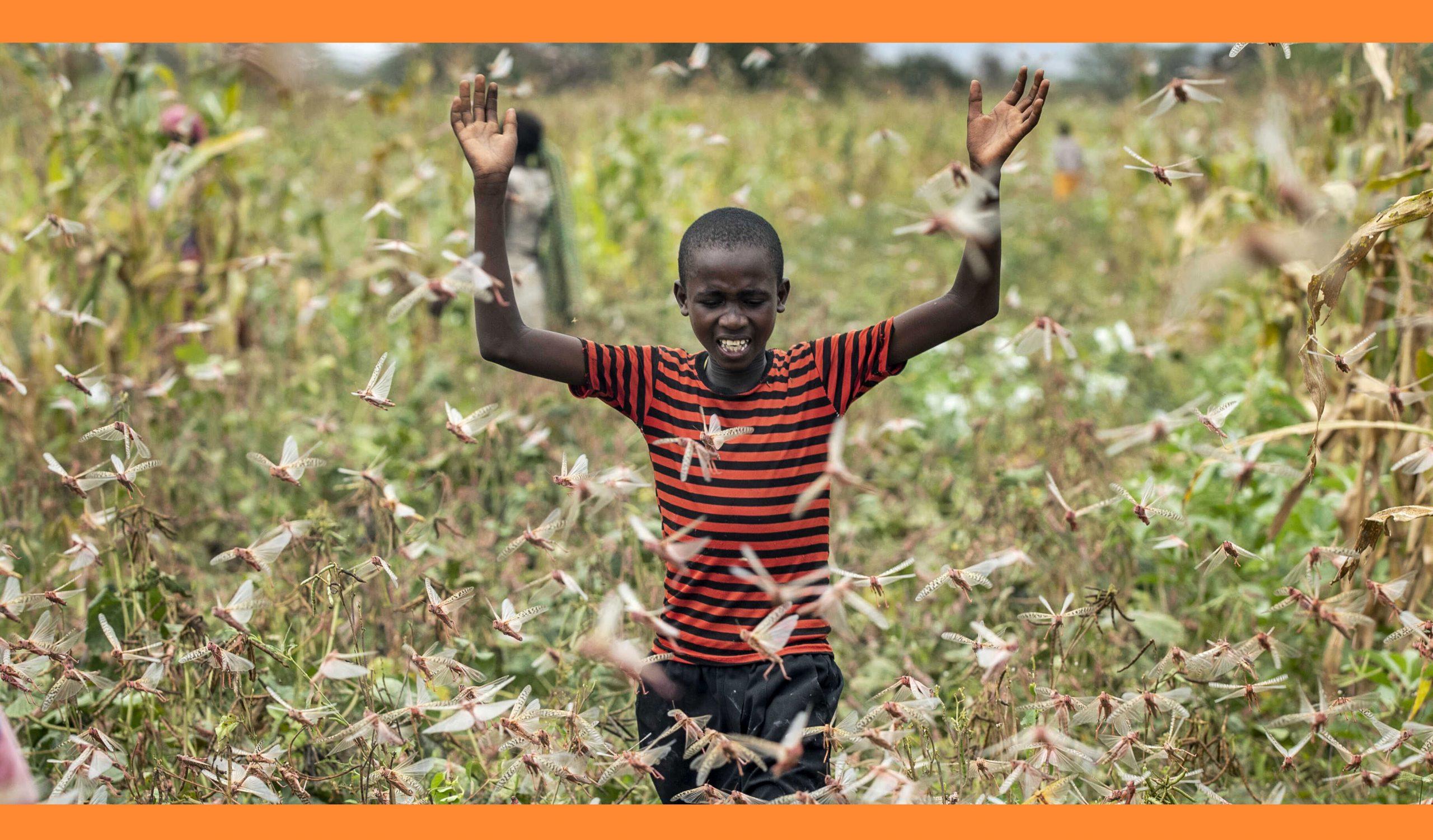 🇰🇪 পঙ্গপালের বিরুদ্ধে অভিনব লড়াই কেনিয়ার কৃষকদের