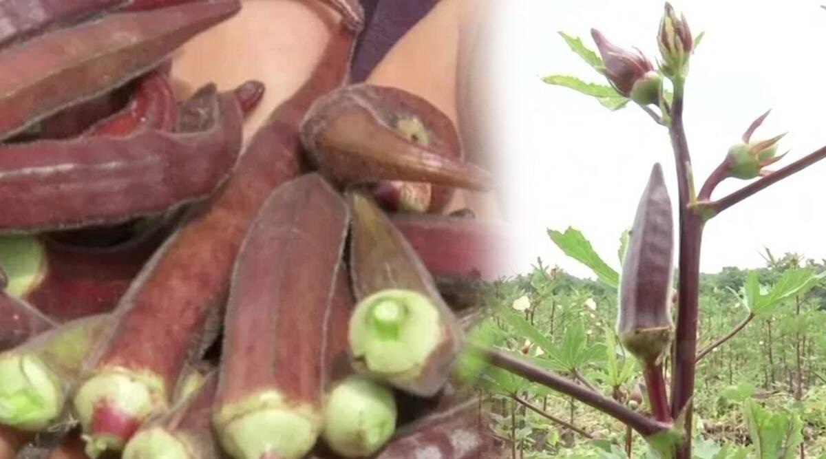 লাল ঢেঁড়স চাষ করে শিরোনামে ভোপালের কৃষক